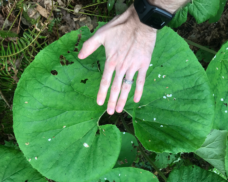 Japanese butterbur leaves with hand for comparison