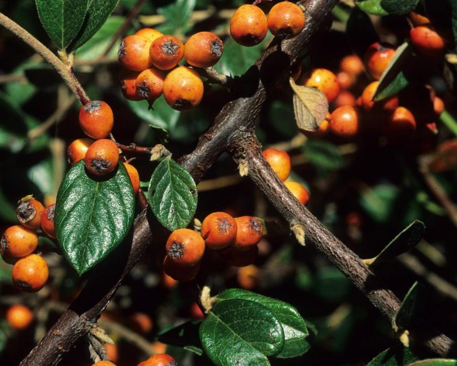 Orange cotoneaster fruit