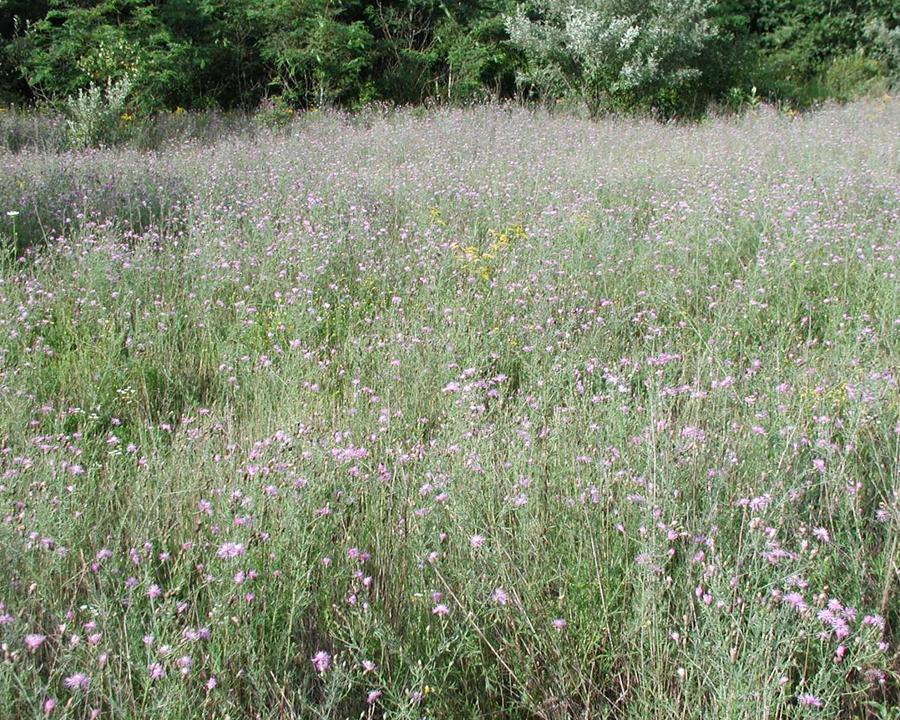 Spotted knapweed infestation
