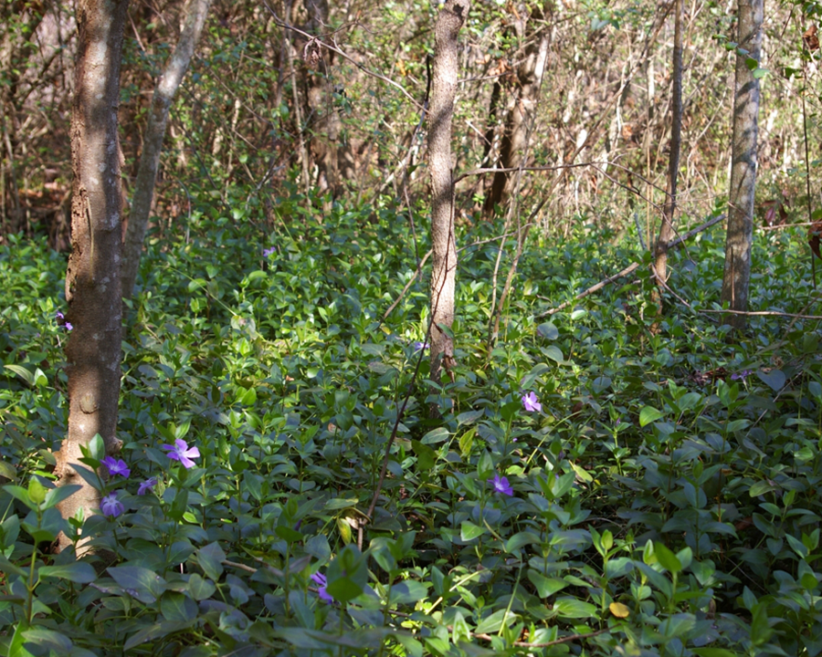 Vinca major infestation