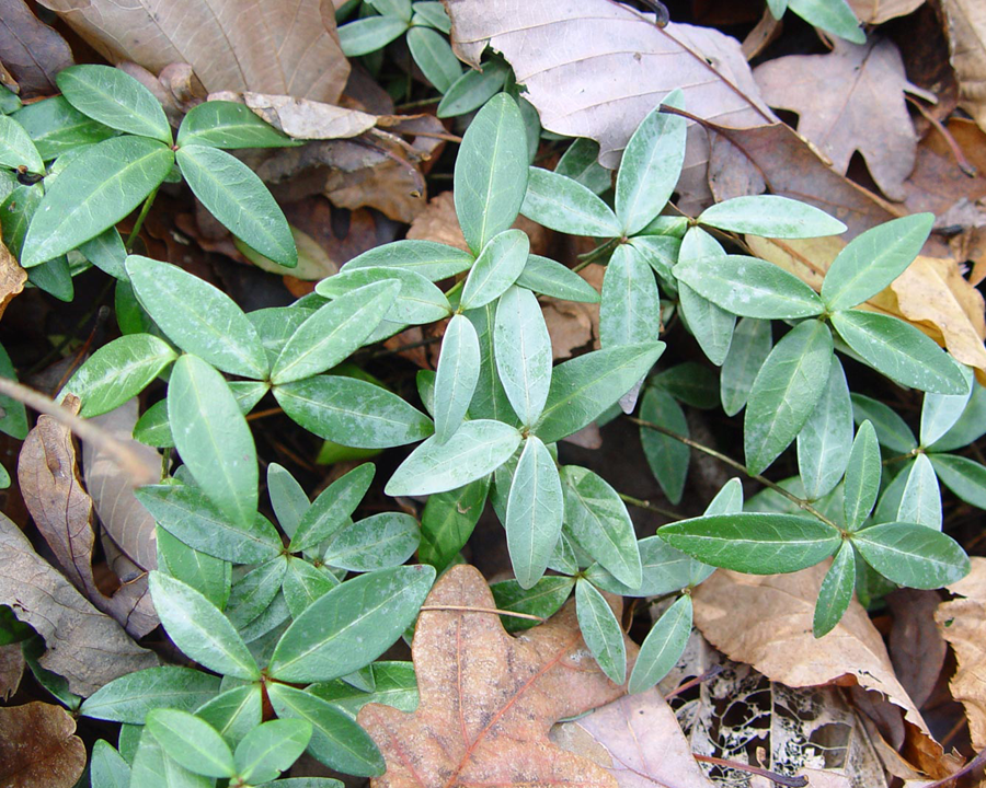 Vinca minor leaves