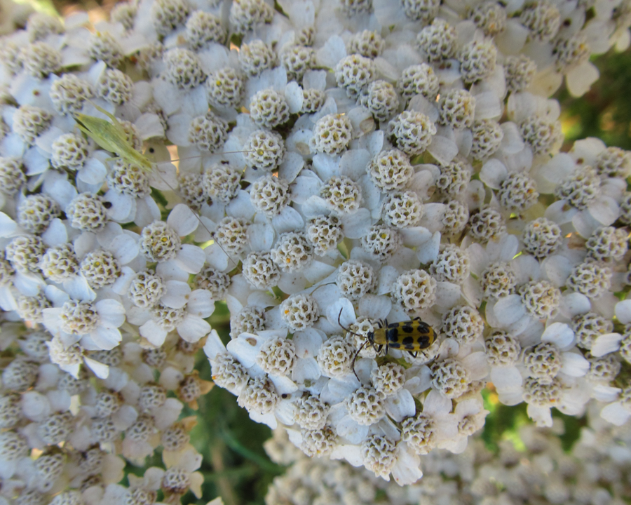 Two insects on a plant with white flowers