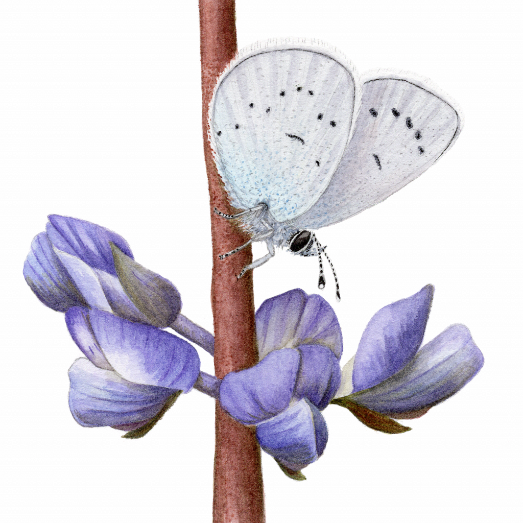 Fender's blue butterfly sits on Kindcaid's lupine