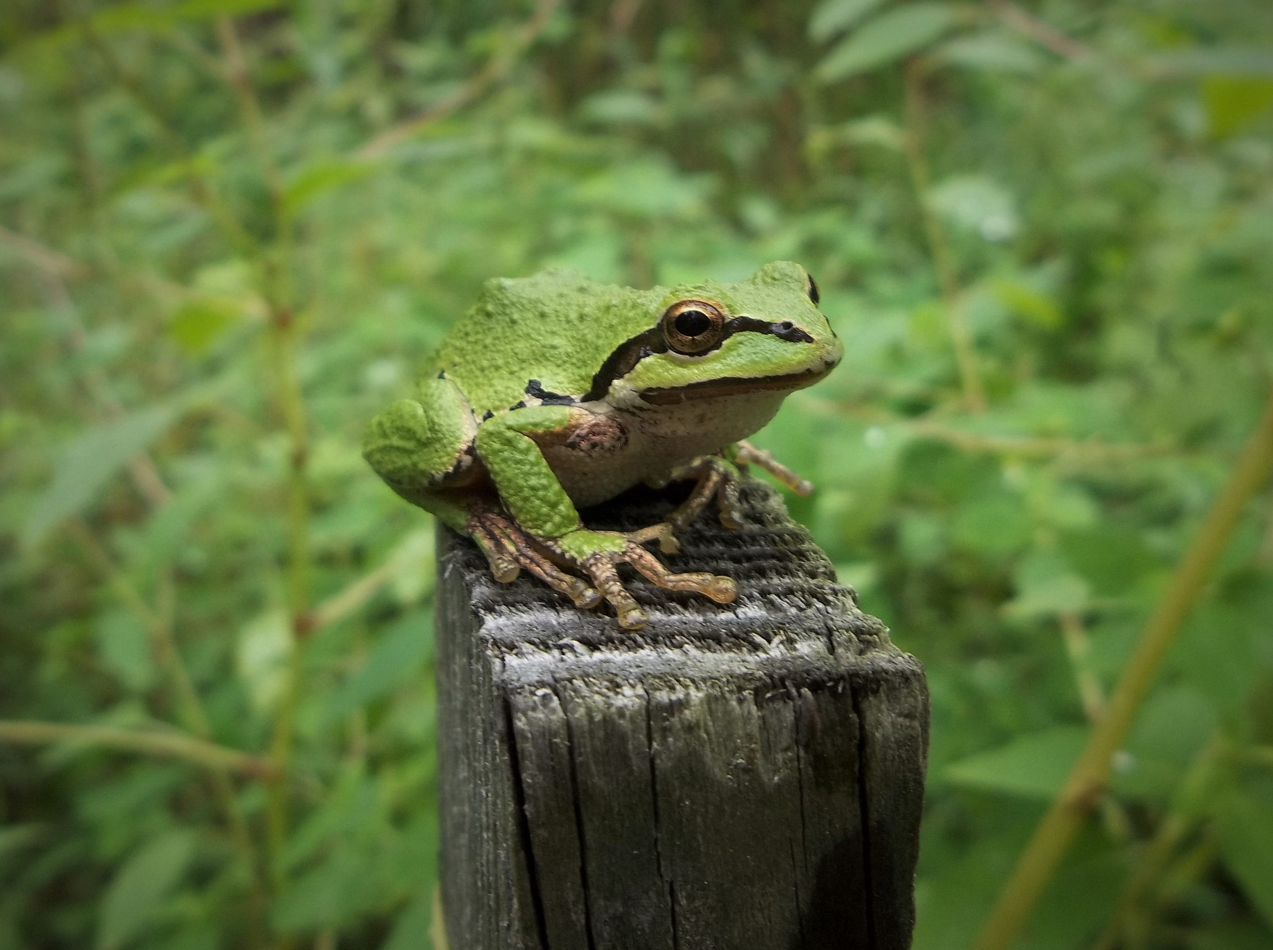 A Pacific treefrog sits on top of a fence post.