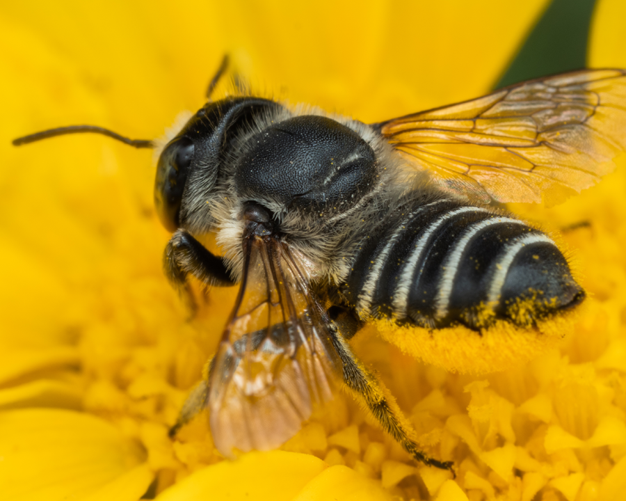 Leafcutter bee gathering pollen