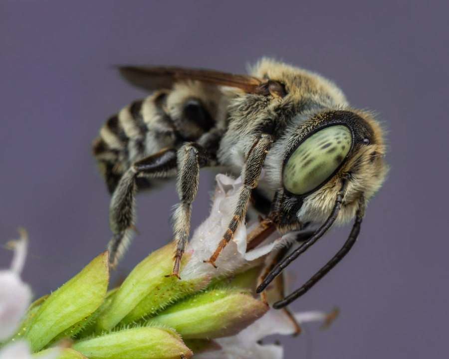 Leafcutter bee gathering nectar