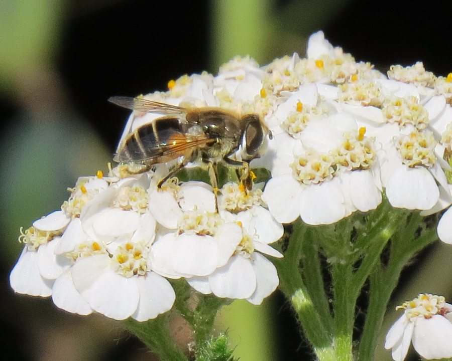 Fly on white flowers