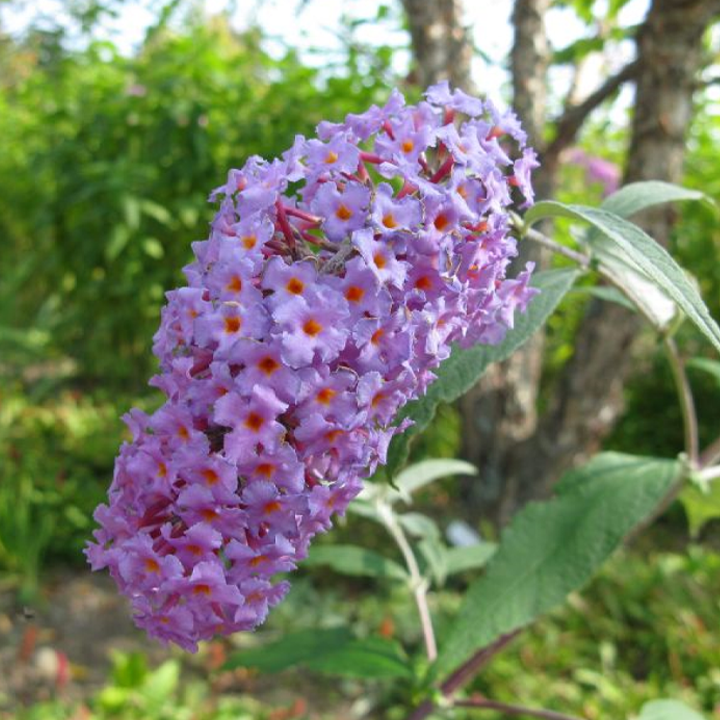 Purple flower spike of butterfly bush.
