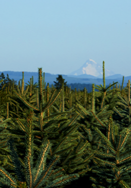 Oregon is the #1 producer of Christmas trees in the country.