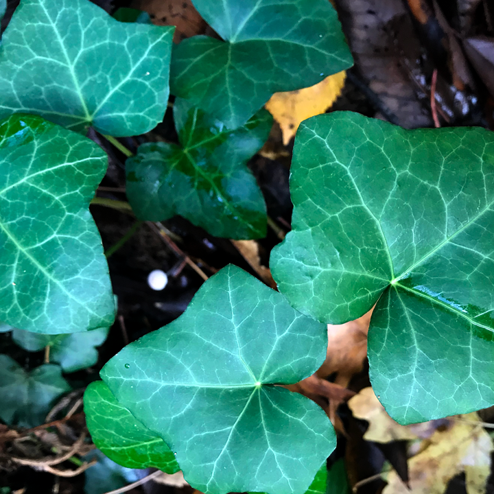Ivy leaves.