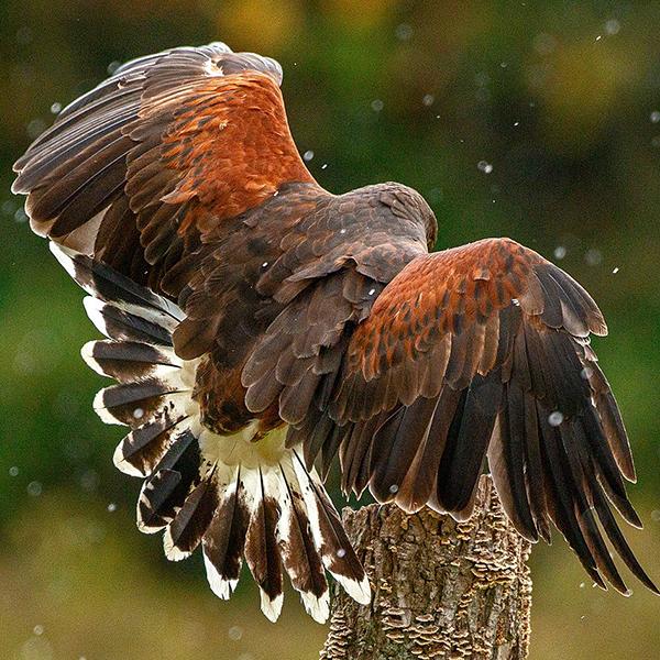 Hawk with wings spread.