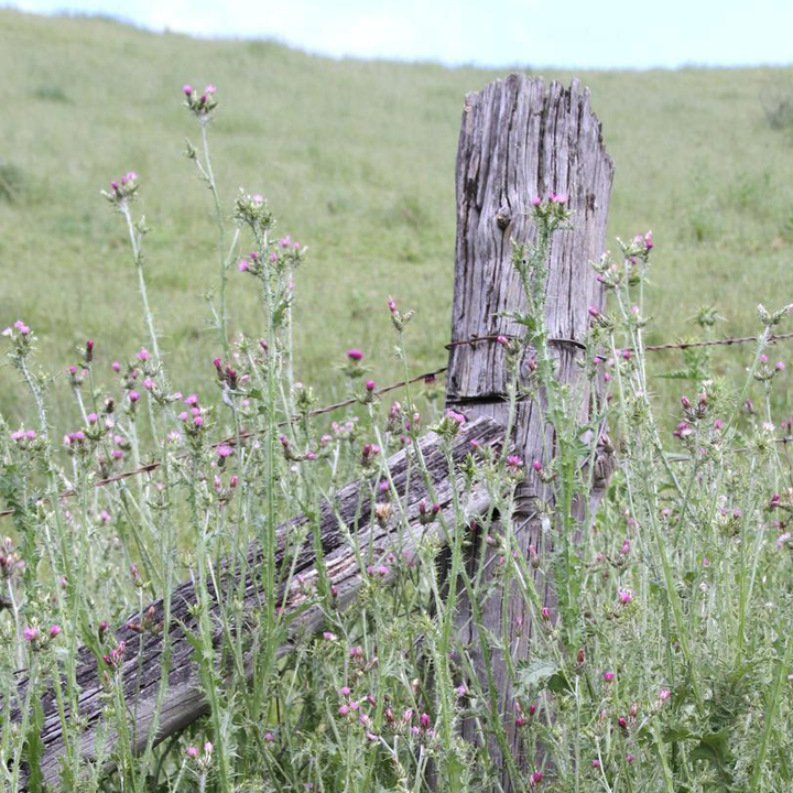 Italian thistle near fence post