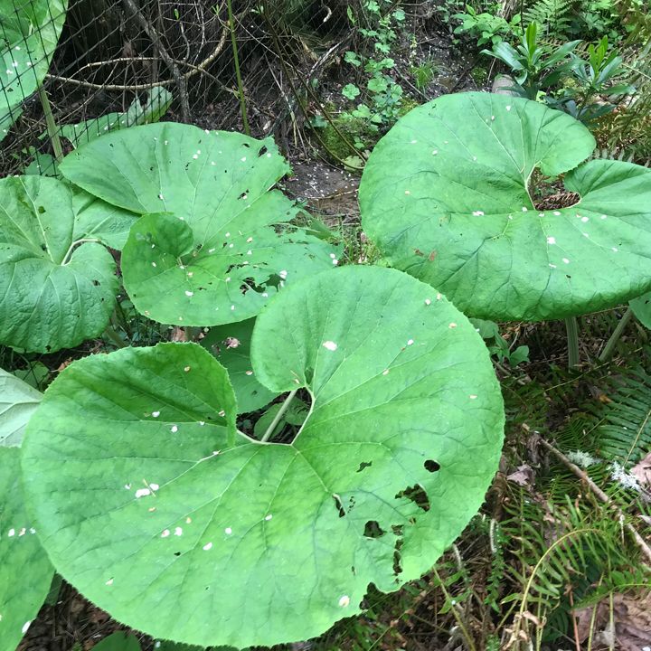 Japanese butterbur leaves