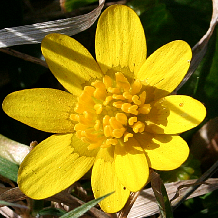 Close up of lesser celandine flower.