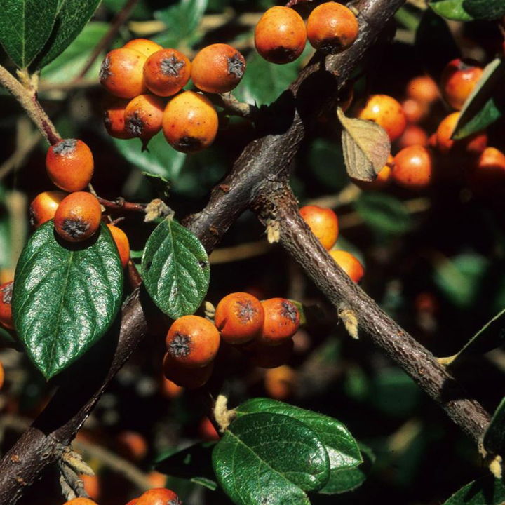 Orange cotoneaster fruit