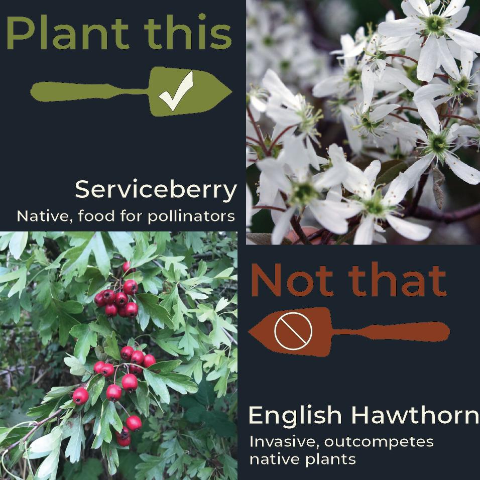 Serviceberry-English Hawthorn