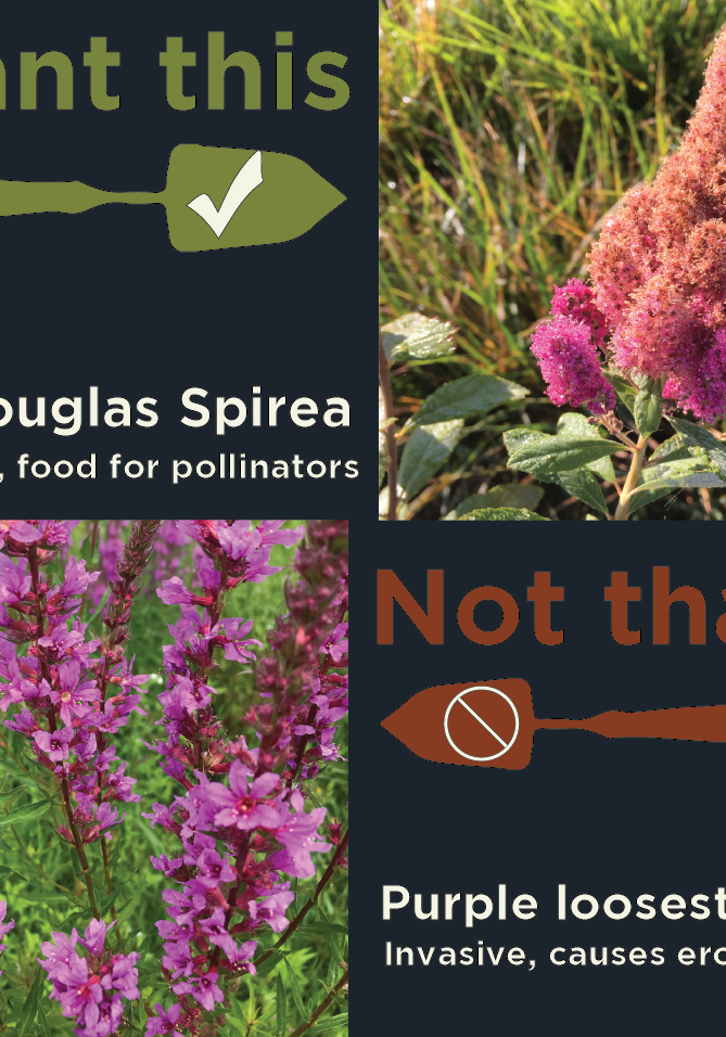 Image comparing Douglas spirea with pink flowers and purple loosestrife with purple flowers.