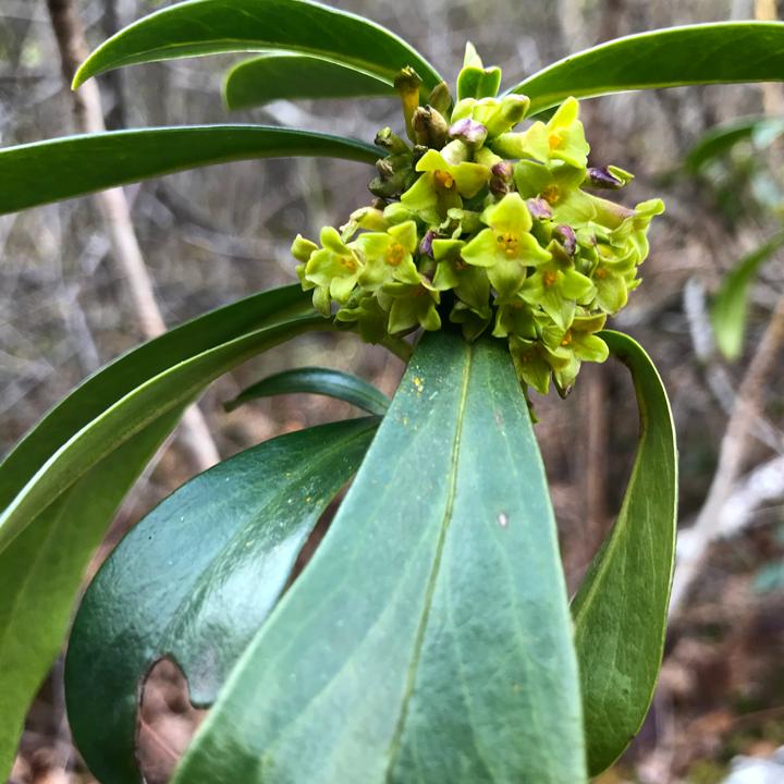 Spurge laurel flowers